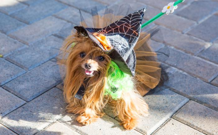 A small dog in a pointed, black hat