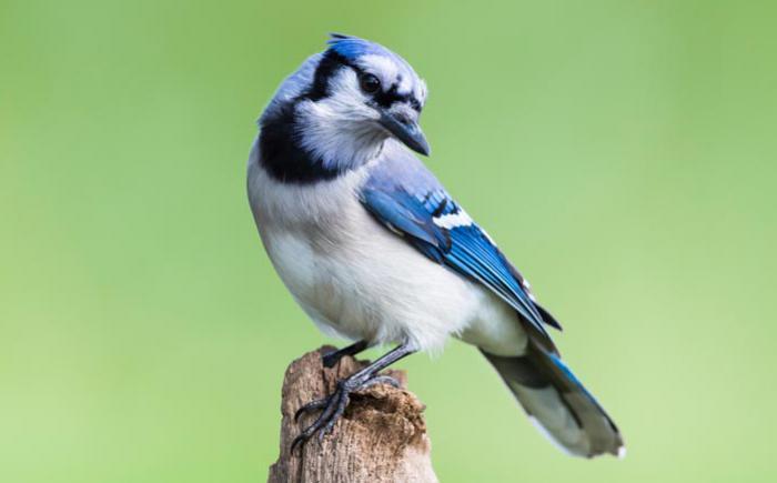 A photo of a blue jay
