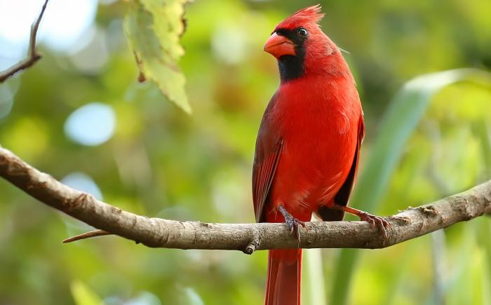 A male cardinal on a tree branch