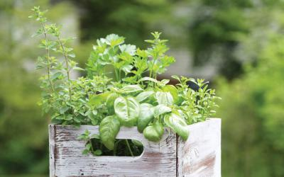 Vegetable and herb plants in a whitewashed crate