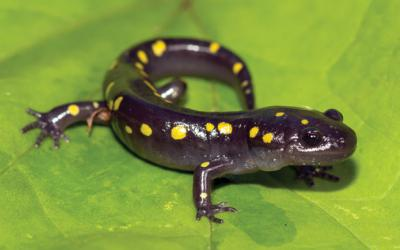 Yellow spotted salamander on a leaf
