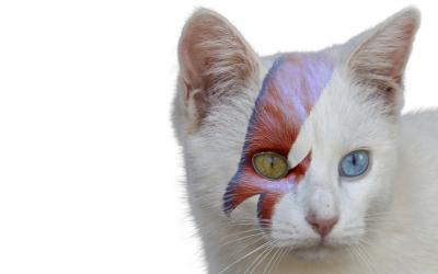 Cat with different colored eyes and a David Bowie-esque lightning bolt on its face